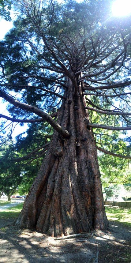 Velký strom v Queenstown.