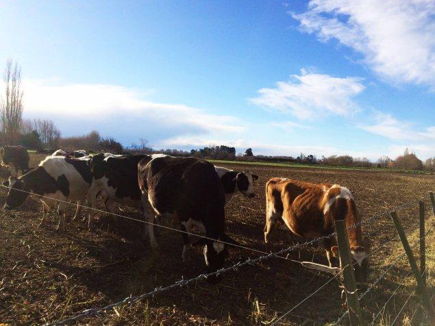 Tady je to samá kráva.